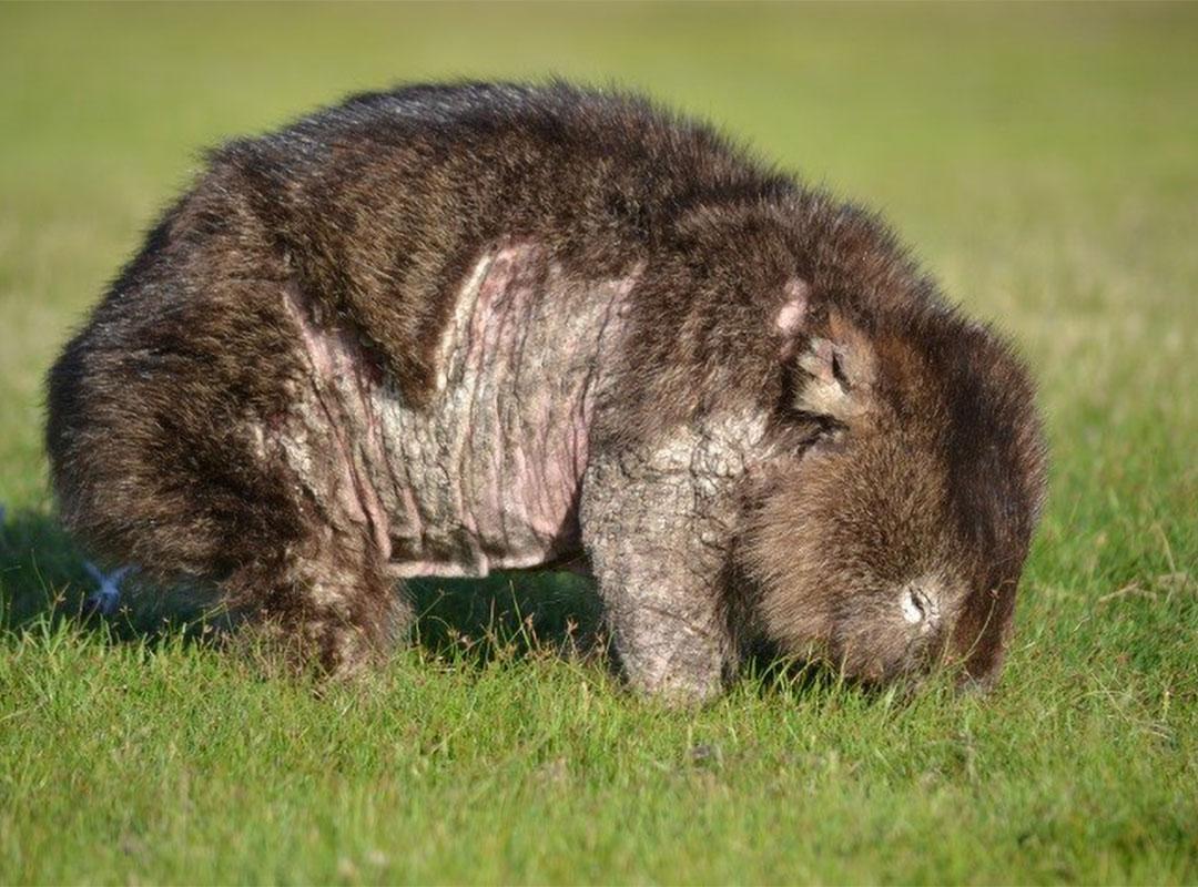 Diseased wombat with mange