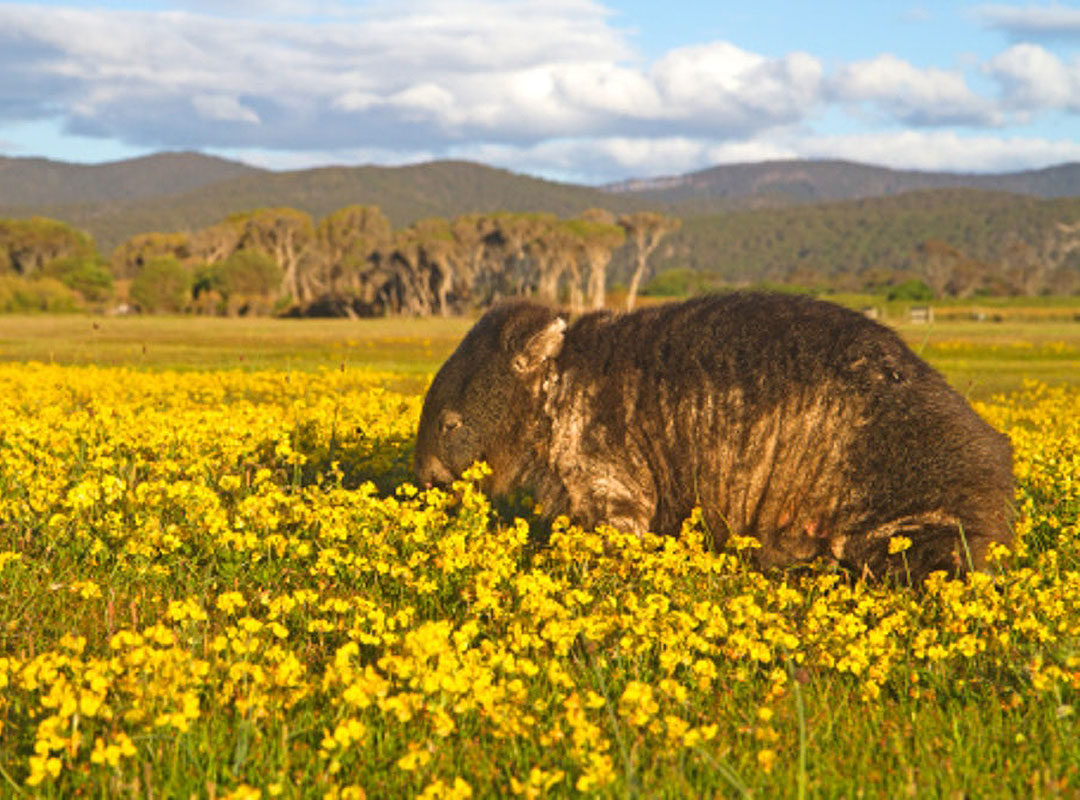 Wombat with mange in Narawntapu National Park